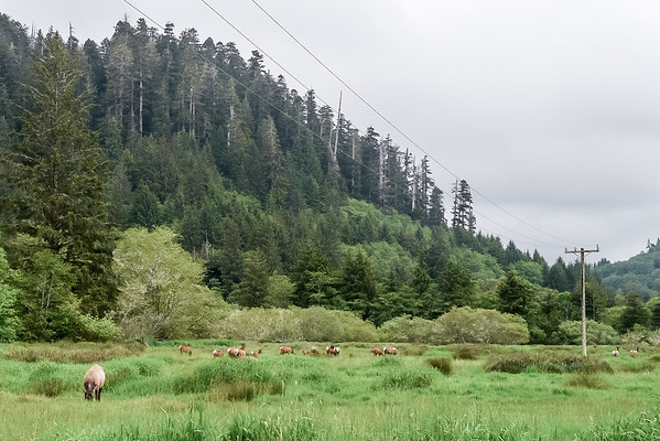 After burgers in Orick, we visited the Roosevelt elk at the Davidson Road - Elk Meadow area.  This part of the herd was all does.