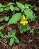 Mimulus dentatus.  Tooth-leaved monkeyflower.