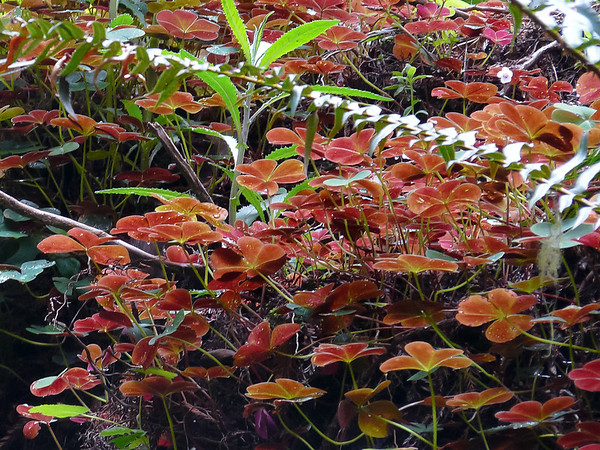 Oxalis oregana.   Redwood Sorrel.  Very red underneath.