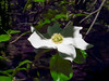 Cornus nuttallii. Pacific dogwood by Happy Isles.