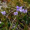 Gentianopsis holopetala.  Plenty of Sierra gentians along the moist meadows by the lake.