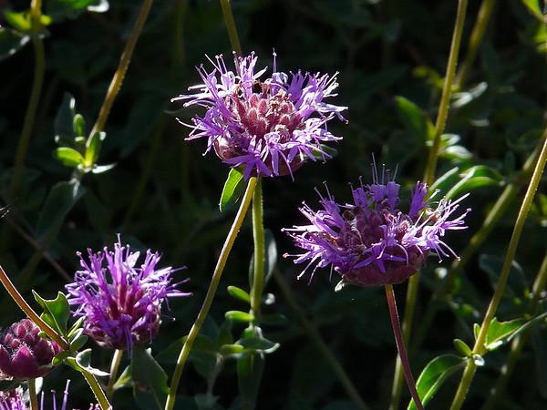 Monardella odoratissima.  Western pennyroyal.