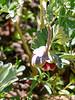 Paeonia brownii.  Mountain peony.