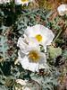 Argemone munita (prickly poppy) on the roadside.
