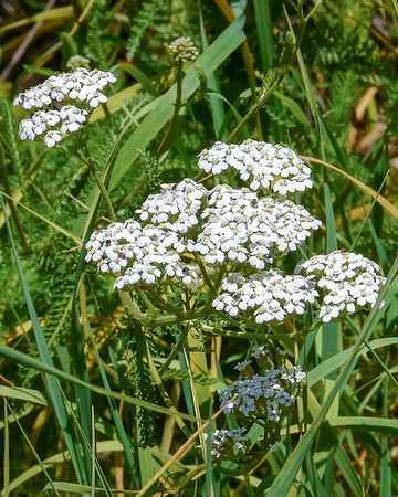 Achillea millefolium (common yarrow) on an open hillside.