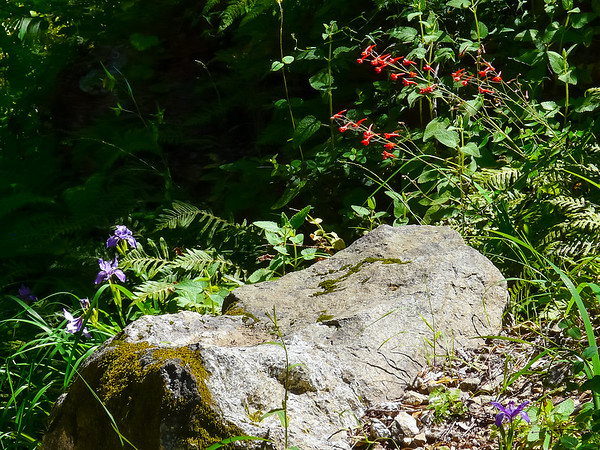 Delphinium nudicaule (red larkspur) with some Iris douglasiana.