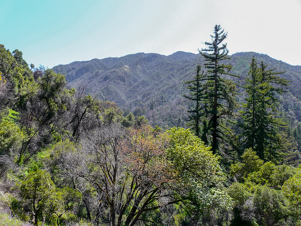 Above Sykes, the trail trades redwoods for oaks and madrones.