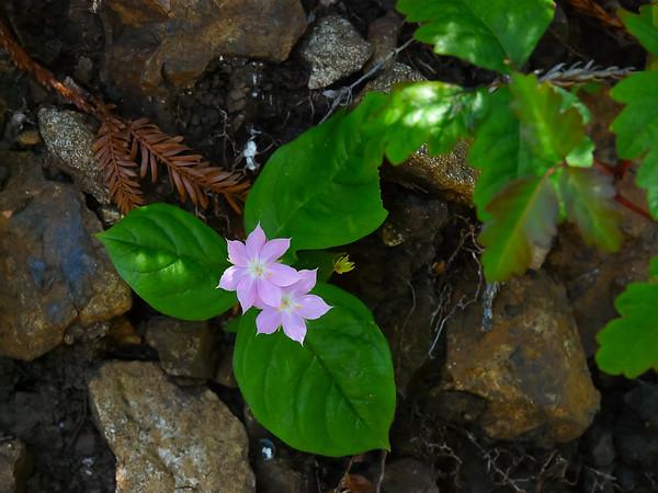 Lysimachia latifolia (western star flower) in a shadier spot.  Previously Trientalis latifolia.