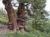 Juniperus grandis. A gnarled Sierra juniper.