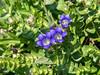 Gentiana calycosa. Explorer's gentian.