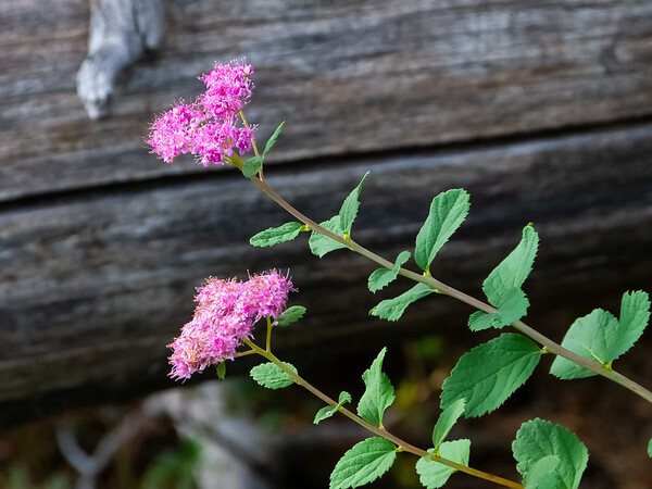 Spiraea splendens.  Rose meadowsweet.