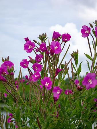 Epilobium hirsutum.  Lots of wet-soil wildflowers too.