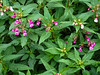 Impatiens glandulifera.  Himalayan Balsam is an invader from the far east.  (It's a problem in North America too.)