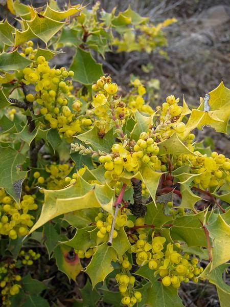 Berberis aquifolium (Oregon grape).