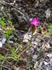 Petrorhagia prolifera (pink grass) -- native to SW Europe.