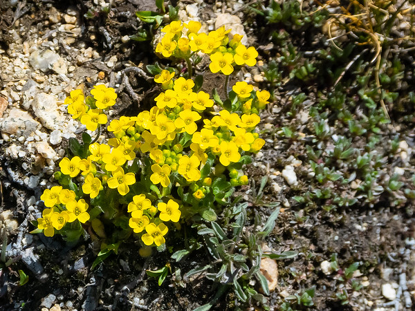 Draba lemmonii (Granite draba).
