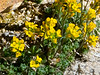 Draba lemmonii, here showing the leaves more clearly than in the Lake Italy picture.