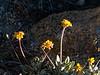 Eriogonum incanum. Frosted buckwheat.