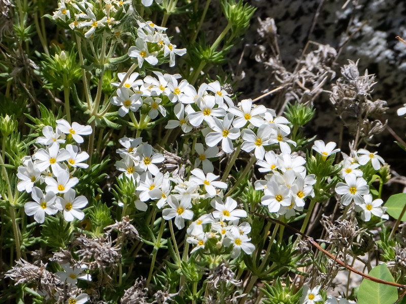 Leptosiphon pachyphyllus (Sierra linanthus), based largely on location, but I don't have any immediate alternatives.