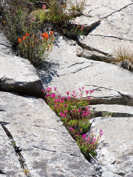 Penstemon newberryi (Mountain Pride) and Castilleja sp. (paintbrush).