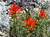 Castilleja applegatei (wavy leaf paintbrush), I think this is ssp. pallida but it could be disticha.  This one's not new, but I got my best detailed paintbrush picture up here.