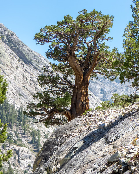 Juniperus grandis .  A nice Sierra juniper.