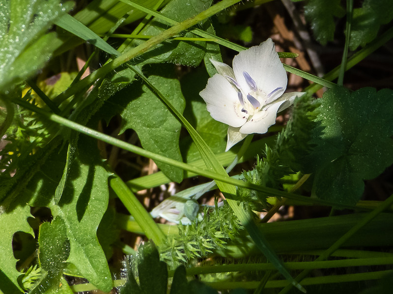 Calochortus minimus.  Sierra mariposa.