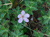 Geranium californicum (California cranesbill). My guess when I first posted this was G. richardsonii, but on later review, the pink color and long stigmas more strongly suggest californicum.   There were lots of these on the fringes of Trout Meadow.
