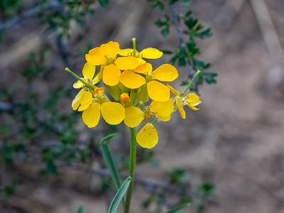 Brassicaceae (Cruciferae)