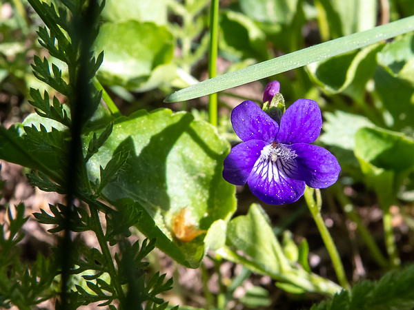 Viola adunca (dog violet) in a meadow near camp.