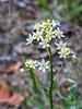 Toxicoscordion fremontii.  Fremont's star lily.  (Formerly Zigadenus fremontii.)