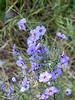Solanum umbelliferum.  Blue witch.