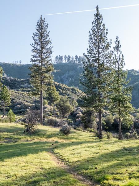Pinus ponderosa.  Pine Valley.