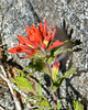 Castilleja applegatei ssp. martinii (Martin's paintbrush).  Note the wavy leaf margins of C. applegatei and the obtuse ends on the calyx lobes.  Those, and the low elevation, identify the species and subspecies.  One of the few paintbrush I saw on this trip.