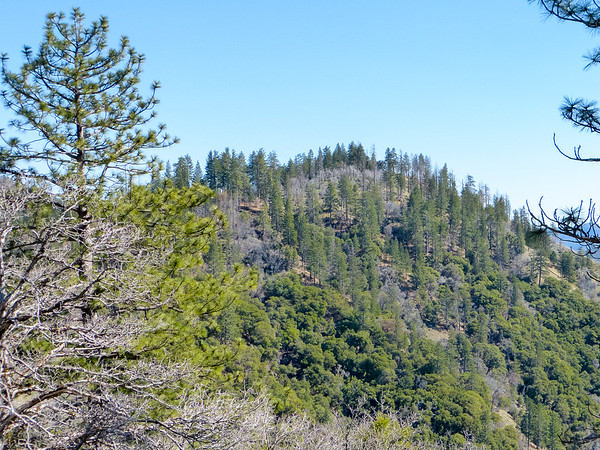 The pines ahead above Pat Springs showed some, but not a lot, of damage.