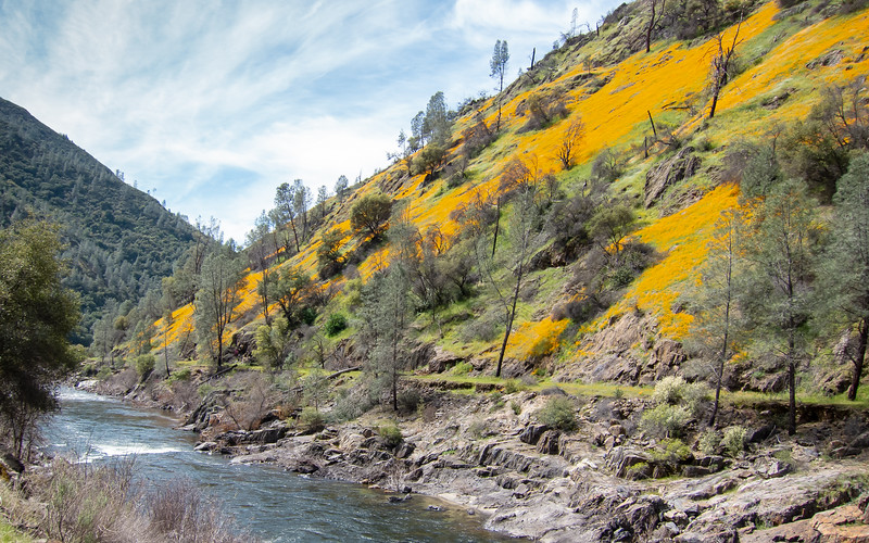 Quite a hillside of California poppies in the Merced Canyon near Slate Creek Bridge.  Looking west.