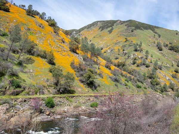 Eschscholzia californica.  More poppies, looking east near Slate Creek.  Redbuds were just beginning.