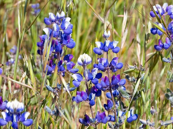 Lupinus bicolor or L. nanus.