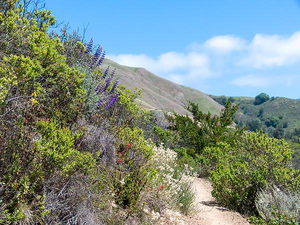 Coastal chaparral blooms:  lupines, paintbrush (Castilleja sp.), monkey flower (Diplacus), and pearly everlasting (Anaphalis margaritacea).