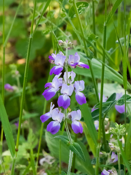 Collinsia heterophylla (Chinese Houses ) were locally common in the shady spots.