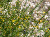 Acmispon glaber (deerweed) was all over the place, but only near the coast was it in bloom.