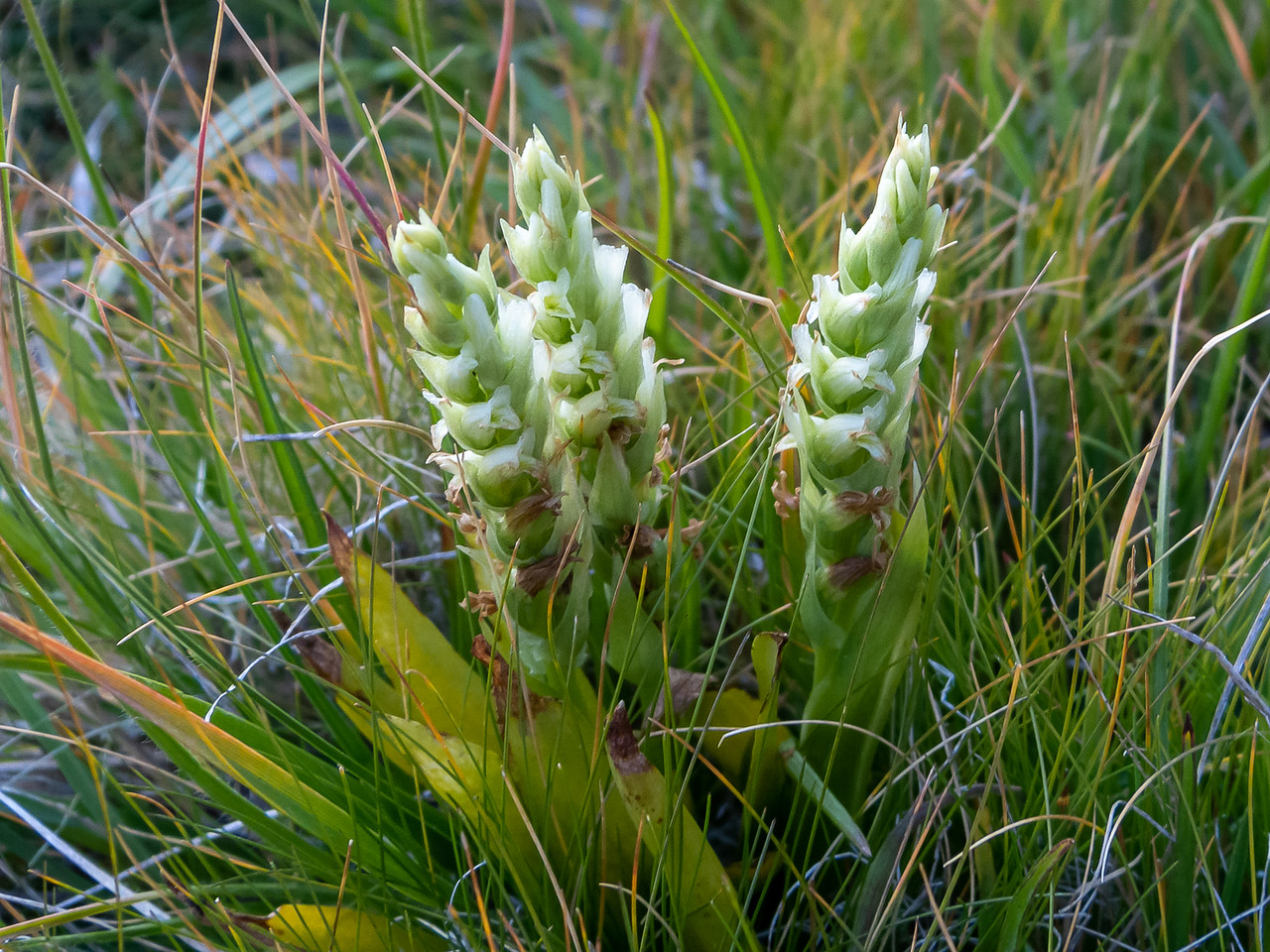 Spiranthes romanzoffiana, hodded ladies's tresses.  In McClure Meadow.