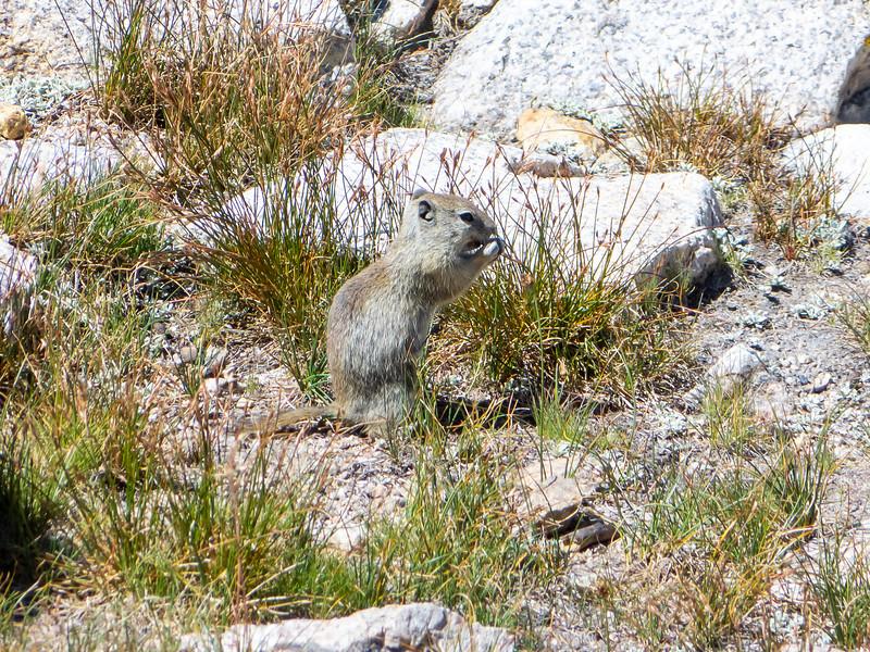 Belding's Ground Squirrel near Lake 11293.