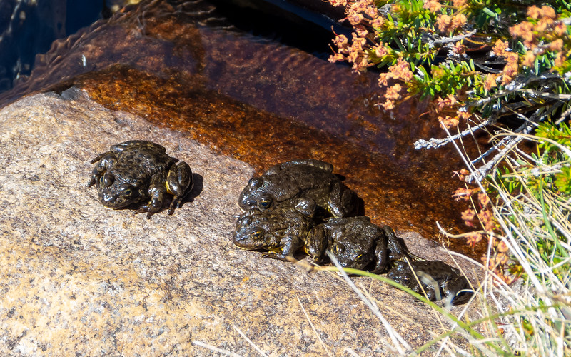 Sierra Nevada yellow-legged Frogs (Rana sierrae) at Wanda Lake.  These were once included in R. muscosa, the Mountain yellow-legged frog, but the populations north of Mather Pass and the Monarch Divide a now broken out as R. sierrae.