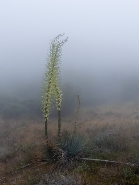 Hesperoyucca whipplei.  Our Lord's Candle.