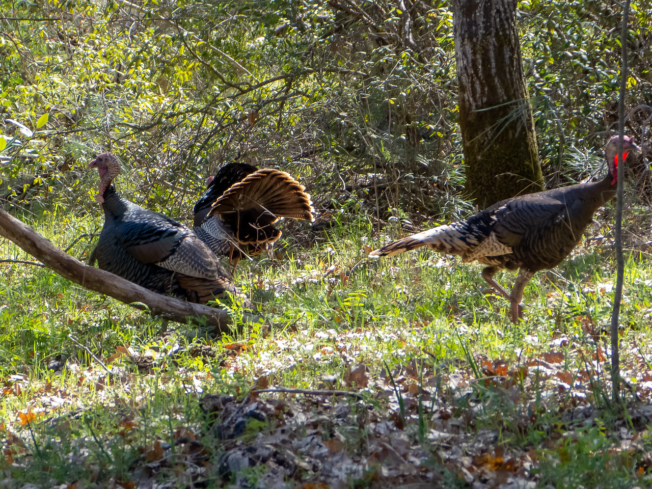 On the way down to Poverty Flat, I saw a group of turkeys: one displaying male and several indifferent females.