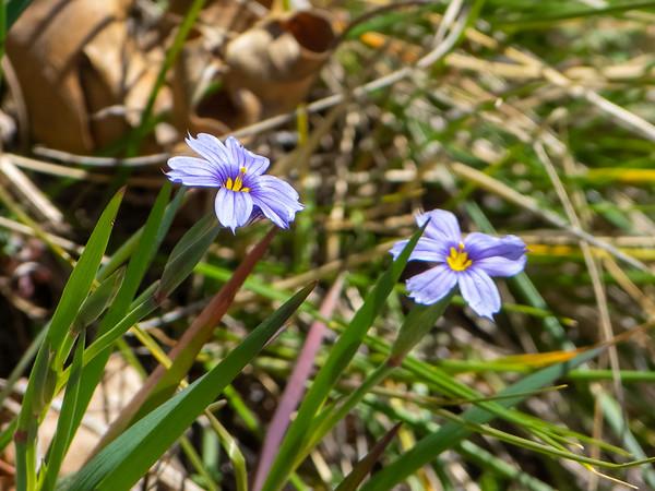 Sisyrinchium bellum.  Western blue eyed grass.