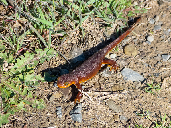 The area was full of california newts, including some unphotographable ones swimming in Rock House Creek.