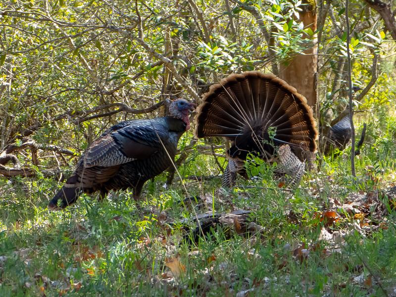 The male's fan was quite impressive.