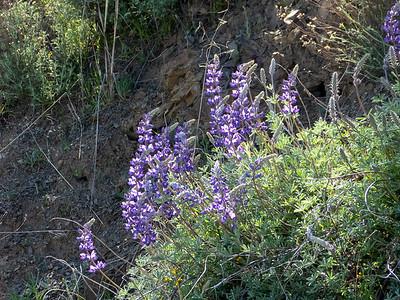 Fabaceae (Leguminosae)